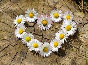daisy-heart-flowers-flower-heart-medium