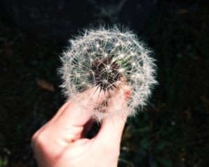 hand holding dandelion ready to spread the EDH Pro-Recovery Movement
