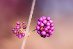 berries-527438_640