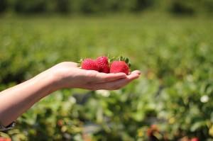 strawberries-484272_640