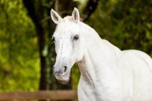Refuge White Horse