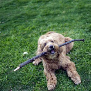 Sam the Dog With Stick