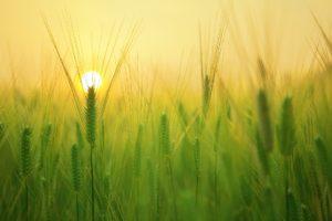 Nature Barley Field in Sun Light