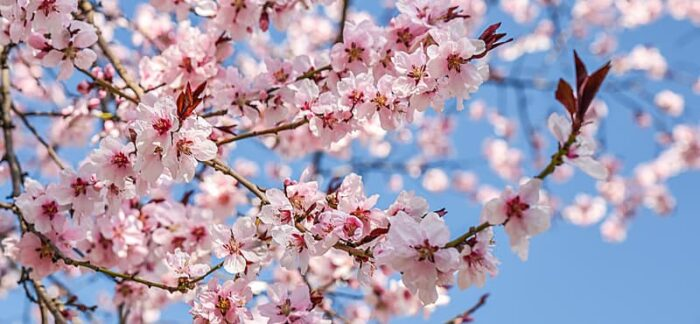 Pink flowers and clear sky